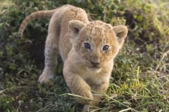 20130814ライオン-幼獣-動物の赤ちゃん-485x728